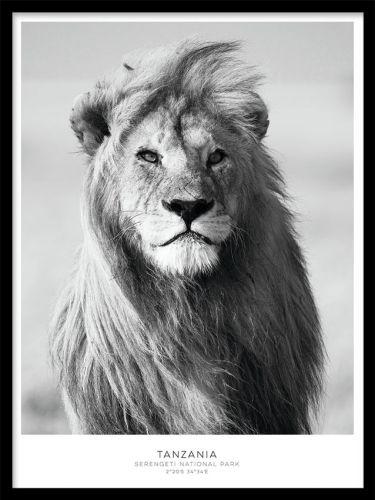 Lion poster. Svartvit poster med foto av ett lejon. En snygg svartvit poster med ett lejon. Ett riktigt snyggt och kraftfullt motiv som passar till många rum och inredningsstilar. Vi trycker våra posters på ett obestruket papper