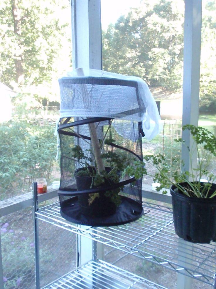 Diy Butterfly Cage Cost 12 50 Metamorphosis Of Black