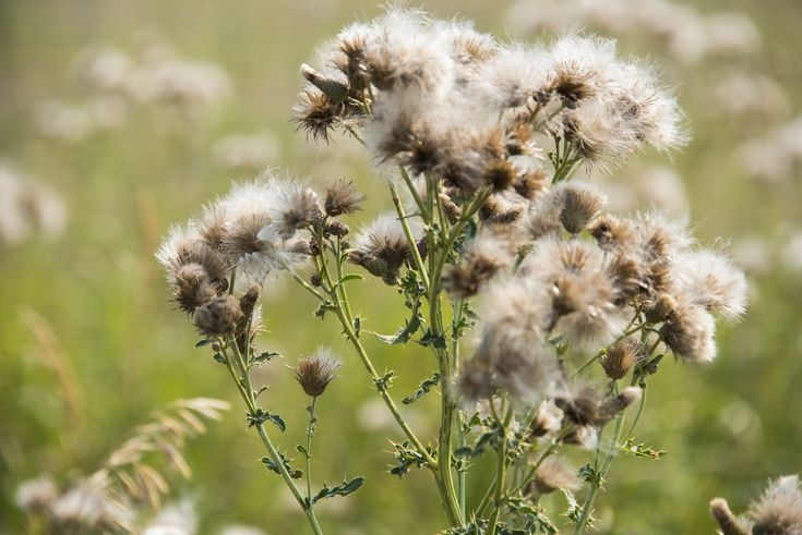 Ragweed Allergy on Top of Asthma