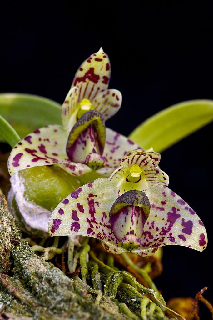 Bulbophyllum weinthalii subsp. striatum