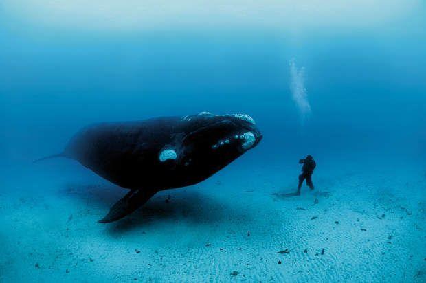 Rencontre sous-marine avec une baleineOn rencontre d'étranges créatures, à 20 m de profondeur, au large des lointaines îles Auckland, à 500 km au sud de la Nouvelle-Zélande. Dans ces eaux non pêchées, Brian Skerry photographie un plongeur nez à nez avec une baleine franche australe, laquelle n'avait peut-être jamais vu d'être humain.