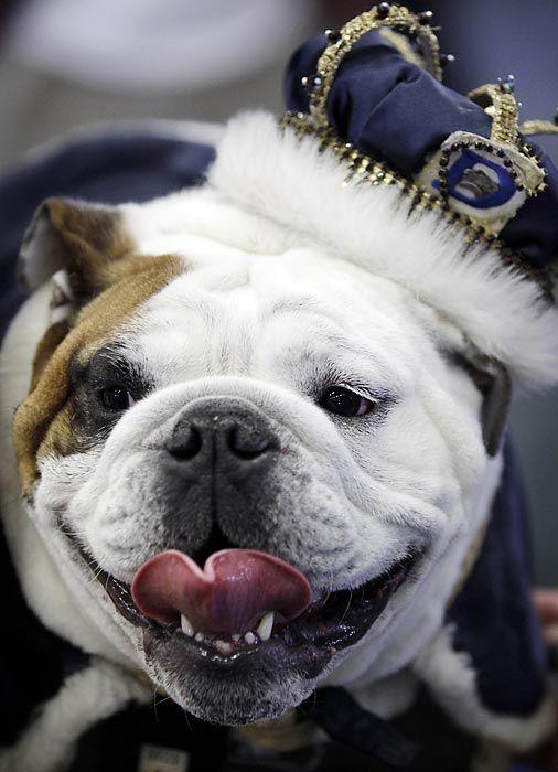 33rd Annual Beautiful Bulldog Contest - Photos - SI.com/Iowa