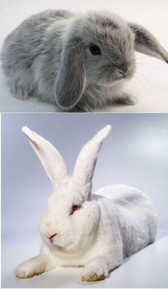 ПОД СТЕКЛОМ: Домашний кролик