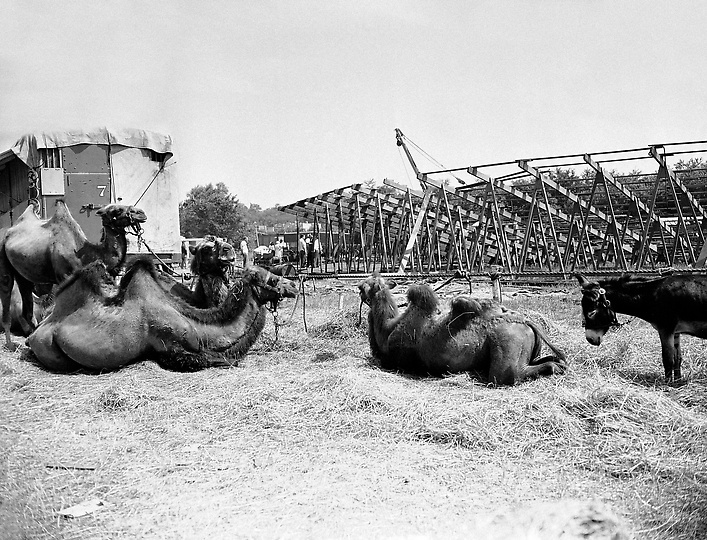 Camels rest near the stands at the Barnum and Bailey Circus, a day after the disastrous fire in Hartford, Connecticut, shown July (AP Photo/Abe Fox)