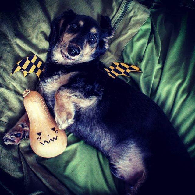 Trick or treat🎃🦇 おやつくれないと俺シー失敗しちゃうよ!  皆さん、楽しいハロウィンを🎃  #犬 #愛犬 #ミニチュアダックスフンド #ブラッククリーム #無印良品 #ビーズクッション #へそ天 #チョコバット🦇 #ハロウィン #仮装  #dog #dogstagram #loverydog #sausagedog #dogphotography #minituredachshund #justdachshunds #total_dogs #dachshundlife #dachshundlover #picsofdogmodels #k_9features #la_dog #superdog_world #pk_dogs #fever_pets #7pets_1day #halloween