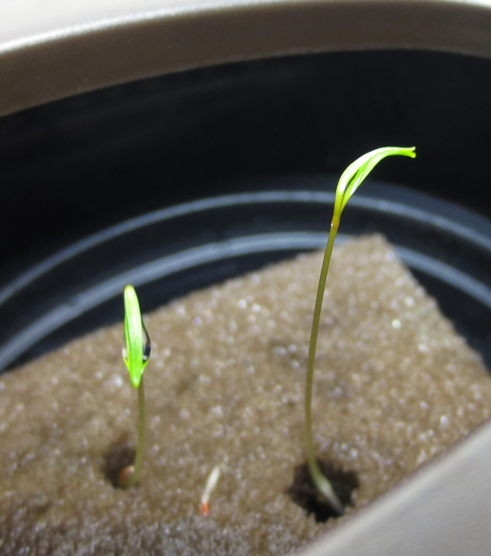 (Day 5): Dill seedlings popped up.