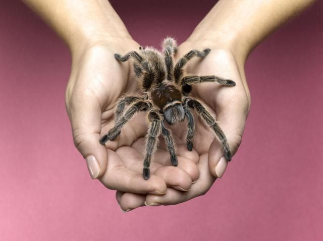 Chilean Rose Tarantulas as Pets - Care Sheet