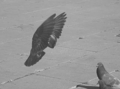 Photography: Landing dove
