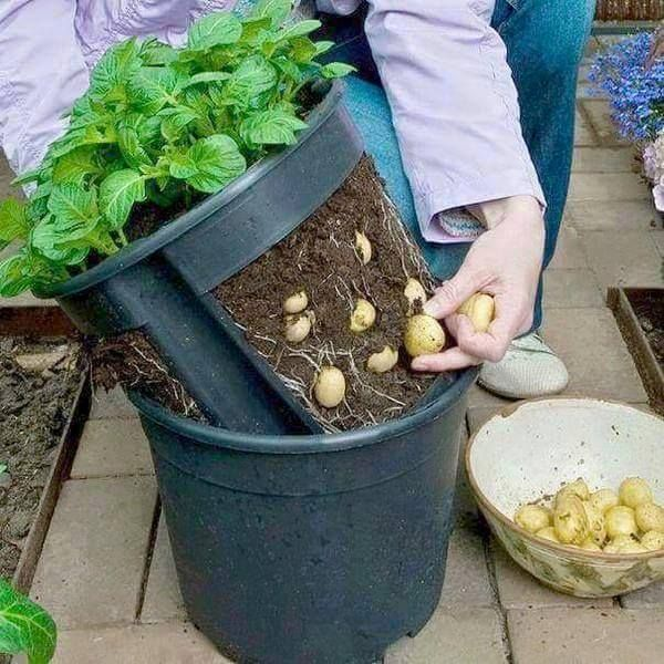 Oh, nice potatoes!... Innovations in Home Agriculture !! The most environmentally friendly potatoes are grown this way... in Japan !! Make a potato pot by cutting out the sides of a plant pot and putting it inside another one - this makes it easier to lift the plants out for harvesting.