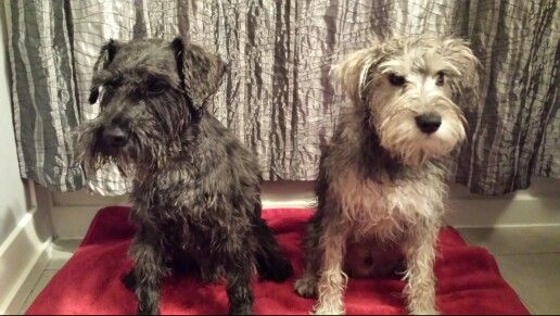 Two wet schnauzers! Black 4 year old and grey 6 month old
