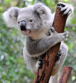Facts About the Absolutely Adorable Koala
