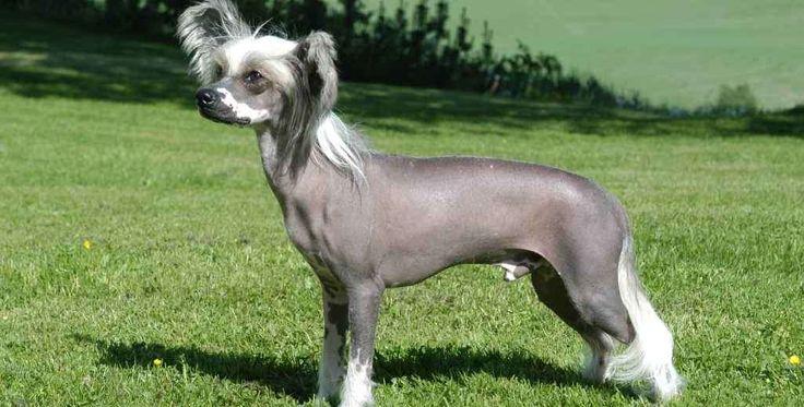 De Chinese Crested is een erg populair ras, is zoet, levendig en aanhankelijk. Beide soorten, de haarloze en de Powder Puff, verschillen in uiterlijke kenmerken, maar hebben soortgelijke persoonlijkheden. Het is een intelligente en onderhoudende hond en de Chinese Crested is dol op klimmen en graven. De haarloze doet het het beste in warmere klimaten, terwijl de Powder puff een voorliefde heeft voor beide.