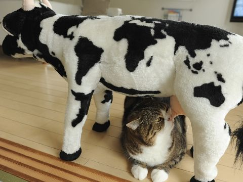 Maru following his instincts with his friend, the stuffed