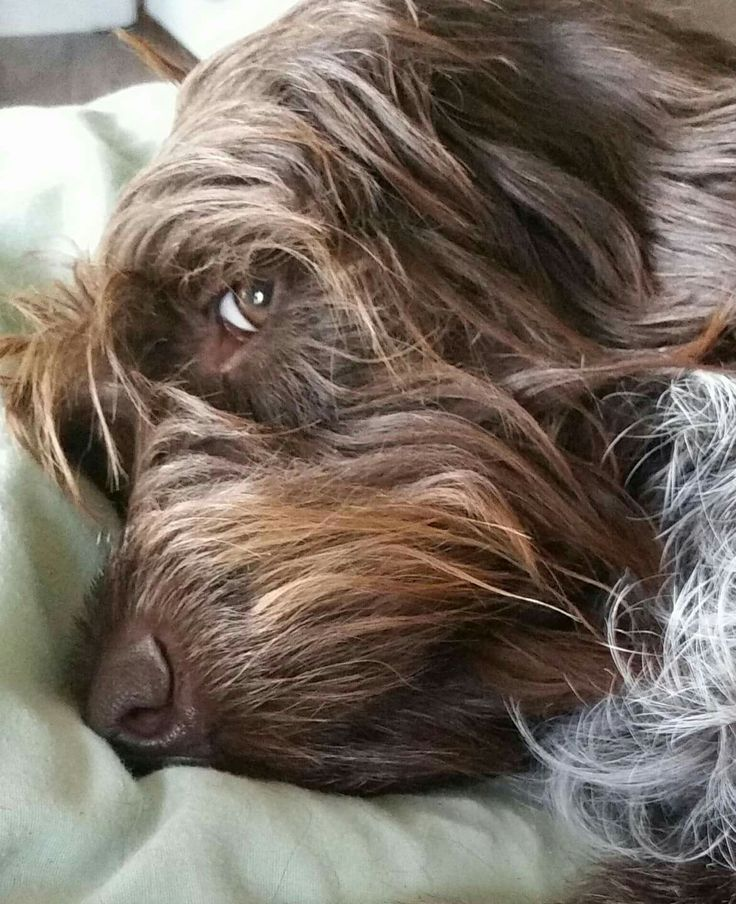 112 best images about Dogs 101 on Pinterest | Tibetan ...