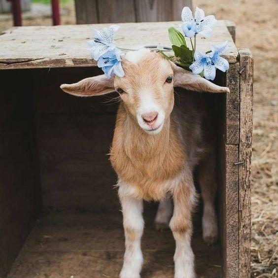 Картинки прикольной козы