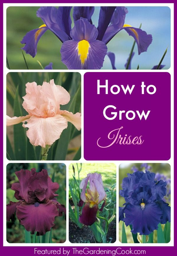 How to grow irises