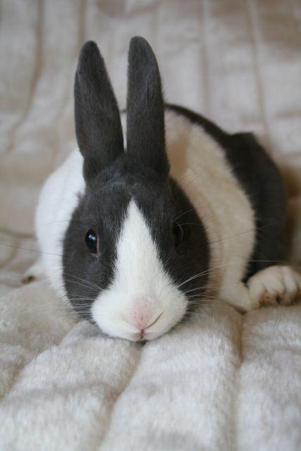 ~ Dutch Rabbit ~ I can't believe my dad lost Mia's Dutch bunny!!!! :(