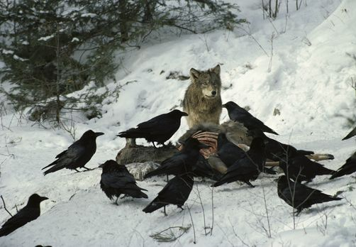 """ama-ar-gi:  The raven is sometimes known as """"the wolf-bird."""" Ravens, like many other animals, scavenge at wolf kills, but there's more to it than that.Both wolves and ravens have the ability to form social attachments and they seem to have evolved over many years to form these attachments with each other, to both species' benefit.There are a couple of theories as to why wolves and ravens end up at the same carcasses. One is that because ravens can fly, they are better at finding carcasses…"""