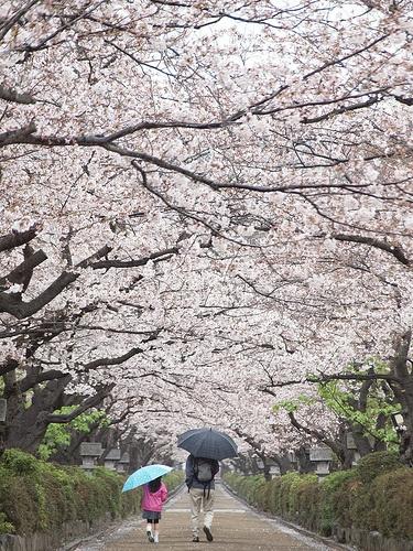 Dankazura (Cherry blossom) by ys*, Kamakura, Kanagawa Prefecture, Japan via Flickr (CC BY-SA 2.0)