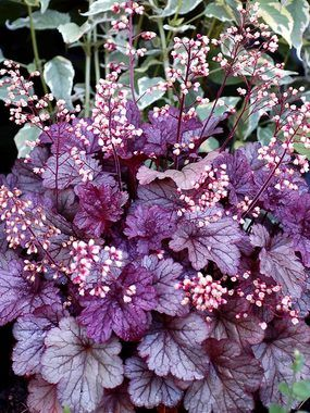 """Heuchera Shanghai $13.95. Silvery-purple pointed foliage provides a lustrous glow in the garden, even into the winter months. Dainty pink flowers on dark stems rebloom against tight mounds of richcolored, sturdy foliage. Patented. (18"""")."""