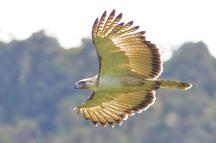 Birding Adventure Philippines Trip 21D20N @ Luzon – Mindanao – Palawan   Birding Adventure Philippines Tour Operator