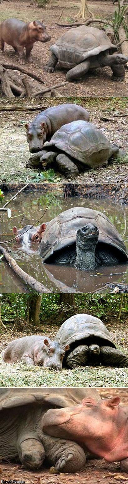 A hippo and a giant tortoise in love.  Soul mates.