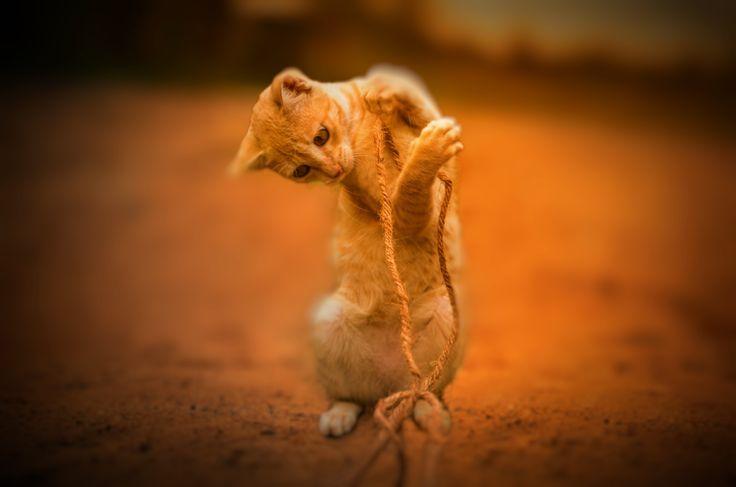 Playing Cat by Gajendra Kumar on 500px