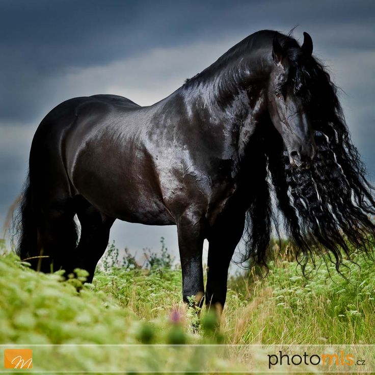 Baron fan Odingastate......Friesian stallion