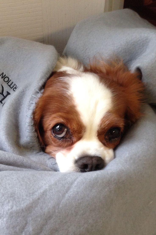 Cavalier King Charles Spaniels bundled up in blankets.