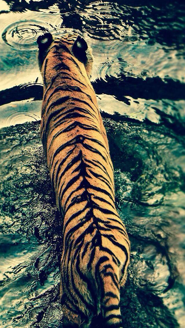 Tigers back