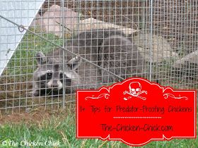 The Chicken Chick®: 11+ Tips for Predator-proofing Chickens