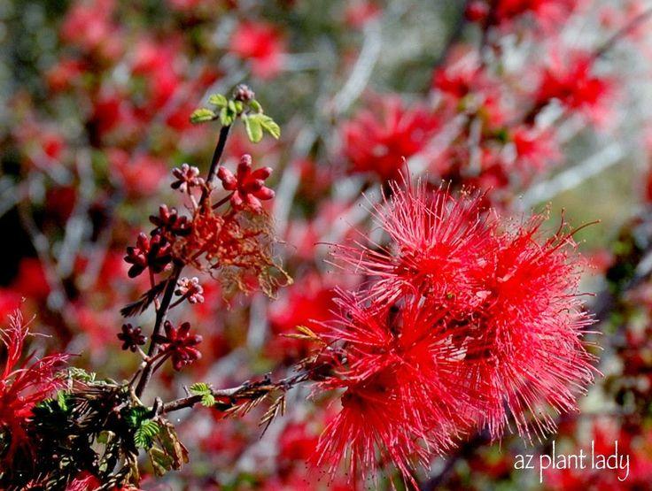 Great Southwestern Plant: Baja Fairy Duster