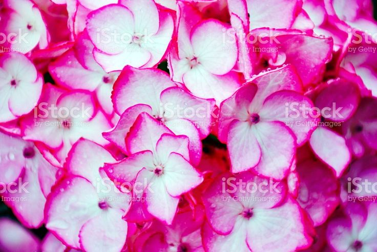 Vibrant Pink Hydrangea Flowers royalty-free stock photo