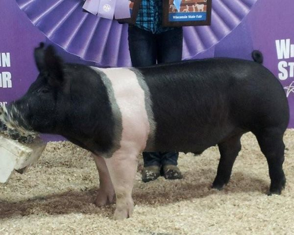hampshire pigs | champion hampshire barrow wi state fair open show day 1 reserve ...