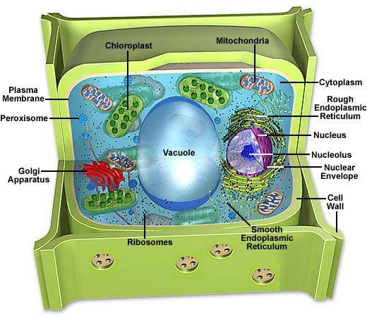 Best 25+ Plant cell model ideas on Pinterest   Cells activity ...