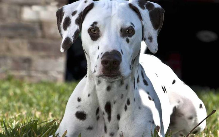 Dalmatians make great family pets.  Like all dogs if care is taken in choosing a well bred Dalmatian puppy from parents with sound temperaments then a gentle, friendly spotty dog can make an excellent companion for even the youngest children.
