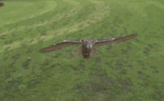 Owl Coming in; see on website Coming in