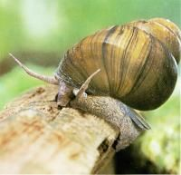Chocolate isnt usually on the diet for snails, but when Lee Fruson and Ken Lukowiak from the University of Calgary, became curious about the effects of diet on memory, they decided to try a flavonoid from chocolate, epicatechin (epi) on the pond snail Lymnaea stagnalis to see if it improved the animals memories. After a dose of epi, the pond snails were able to remember a training protocol for longer and the memories were stronger.