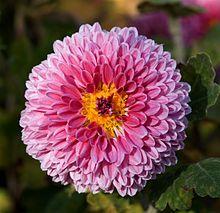 Chrysanthemum morifolium (florist's daisy)