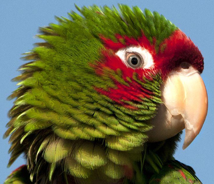 Il parrocchetto frontescarlatta (Psittacara wagleri (Gray, 1845)) è un uccello della famiglia degli Psittacidi. Nikon D300 - nikkor 200-400 mm f/4 - 1/4000 sec. f/5.6 - iso 640 - # guidofrilli Torre del Lago, pappagallo in libertà vicino al porto.