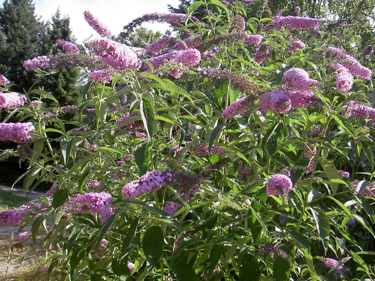 Buddleja davidii (spelling variant Buddleia davidii), also called summer lilac, butterfly-bush, or orange eye, is a species of flowering plant native to Sichuan and Hubei provinces in central China, and also Japan. USDA zones 5-9. Cultivars are much appreciated for the value of their flowers as a nectar source for many species of butterfly.