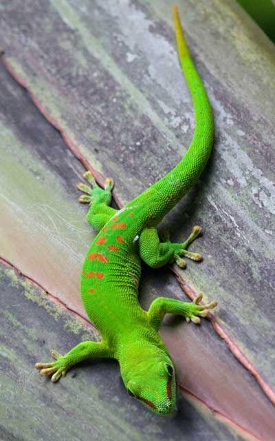 Gecko (Infraorden Gekkota)