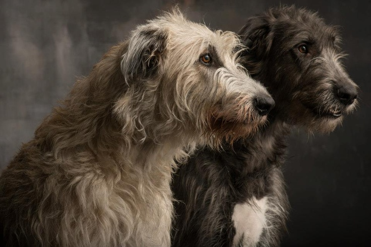 Beautiful Irish wolf hounds, would call them Romulus and Remus!