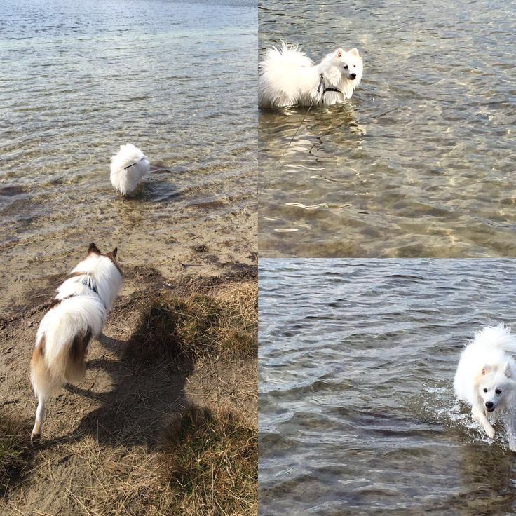 Swimming Japanse Spitz/spits #Dog #Benji #Shelti