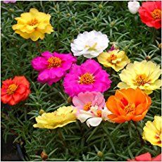 Portulaca species such as Purslane require no attention at all when growing and flowering; however you should remove them from the garden...