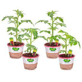 Bonnie 25-Oz Better Bush Tomato, Patio Tomato, Husky Cherry Red Tomato