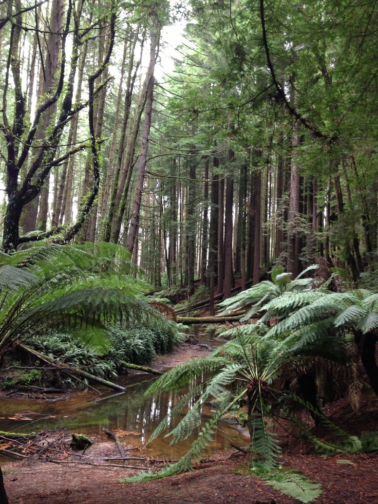 Fiona Therese Photography, Californian Red Wood Forest, Beech Forest, Otways Victoria