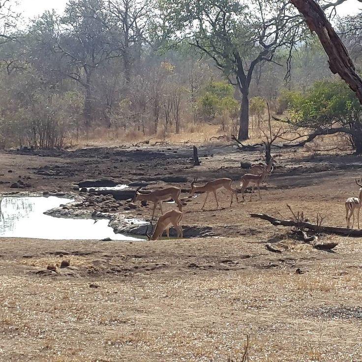 #Impala #Waterhole #Majete #MalawiPlaces