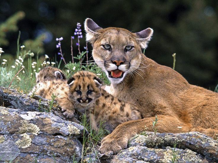puma-and-baby-pumas.jpg (800×600)