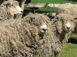 Billedresultat for fåreracer